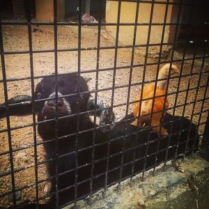 İki tatlı bebek... #bebek #baby #keçi #oğlak #yavru #animal #goat…