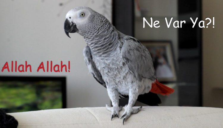 Konuşan Papağan Şaşkın: Allah Allah