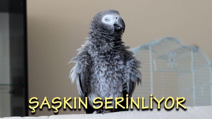 Papağan Şaşkın serinliyor